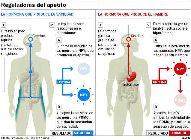 Efecto de las hormonas grelina y leptina que envían mensajes al hipotalamo en el aumento y reducción de peso