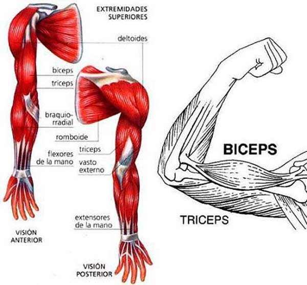 musculos-brazo
